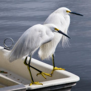 Herons Photos - Loitering by Kevin Bergen