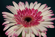 Amanda Barcon Metal Prints - Lollipop Gerbera Metal Print by Amanda Barcon