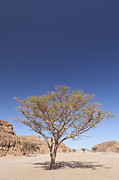 Balance In Life Framed Prints - Lone acacia tree in the Sinai desert Framed Print by Stefano Baldini