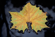 Autumn Leaf On Water Prints - Lone Autumn Leaf Print by John Buffington