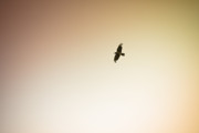 (c) 2010 Photo Prints - Lone Bird Print by Ryan Kelly