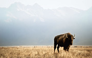 Bison Photos - Lone Bison by Heather Swan