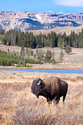 Yellowstone Digital Art Posters - Lone Buffalo Poster by Cindy Singleton