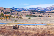 Yellowstone Park Scene Prints - Lone Bull Buffalo Print by Cindy Singleton