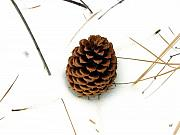 Pine Needles Framed Prints - Lone Cone Framed Print by Will Borden
