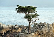 Monteray Bay Framed Prints - Lone Cypress 1 Framed Print by Gerry Fortuna