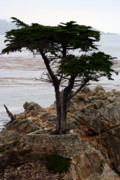 Susie Weaver Art - Lone Cypress by Susie Weaver
