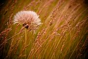 Grass Photo Acrylic Prints - Lone Dandelion Acrylic Print by Bob Mintie