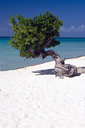 Antilles Framed Prints - Lone Divi Tree on the Beach Framed Print by George Oze