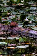 Lilly Pad Prints - Lone Duck Print by David Patterson