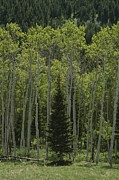Woodland Scenes Prints - Lone Evergreen Amongst Aspen Trees Print by Raymond Gehman