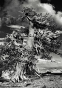 Evergreen Trees Posters - Lone gnarled old Bristlecone Pines at Crater Lake - Oregon Poster by Christine Till