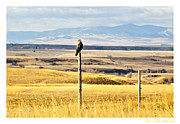 Lewistown Posters - Lone Hawk Poster by Sheri Bartoszek