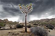 Joshua Tree National Park Framed Prints - Lone Joshua Framed Print by Andy Frasheski