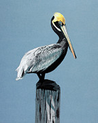 Pelican Drawings Metal Prints - Lone Pelican Metal Print by Retouch The Past
