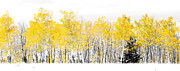 Aspens Framed Prints - Lone Pine Framed Print by The Forests Edge Photography - Diane Sandoval