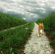 Animal Themes Prints - Lone Red And White Cat Walking Along Grassy Path Print by  Axel Lauerer