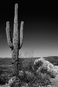 Desert Prints - Lone Saguaro Print by Chad Dutson