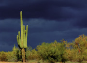 Cactus Photos - Lone Sentry by Douglas J Fisher