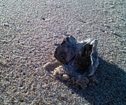 Shells Photos - Lone Shell In Titusville Fl by Theresa Rainey