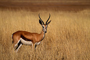Springbok Posters - Lone Springbok Poster by Adele Van Schalkwyk