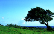 Puerto Rico Photo Prints - Lone Tree Blue Sea Print by Thomas R Fletcher