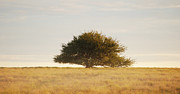 Argentina Photos - Lone Tree In Field, Argentina by Franco Rostan
