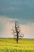 Heartbreak Photo Posters - Lone Tree in Rape Field 1 Poster by Douglas Barnett
