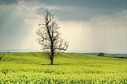 Heartbreak Photo Prints - Lone Tree in Rape Field 2 Print by Douglas Barnett