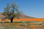 Poppy Fields Posters - Lone Tree in the Poppies Poster by Sandra Bronstein