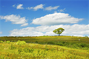 Blueberry Barrens Posters - Lone Tree With Blue Sky In Blueberry Field Maine Photograph  Poster by Keith Webber Jr