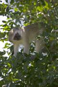 Foliage Photographs Prints - Lone Vervet Monkey Perched In Tree Print by Roy Toft