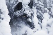 Wary Prints - Lone Wolf In Snow Print by Don Hammond
