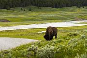 Bison Photos - Lonely Bison Valley by Chad Davis