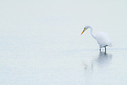 Great White Egret Prints - Lonely Egret Print by Karol  Livote
