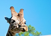 Giraffe Photos - Lonely Giraffe by Jack Scicluna