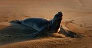 Elephant Seals Metal Prints - Lonely Metal Print by Jeffrey Campbell