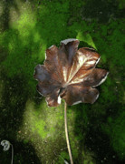 Heartbreak Photo Posters - Lonely Leaf on Moss Poster by Douglas Barnett