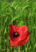 Cornfield Photos - Lonely Poppy by Alessandro Matarazzo