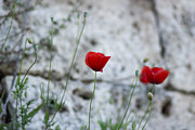 Milos Dacic Photo Posters - Lonely poppy Poster by Milos Dacic