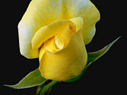 Rain Drop Posters - Lonely Teardrop Yellow Rose Bud Poster by Jennie Marie Schell