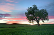 Field. Cloud Posters - Lonely Tree At Sunset In Palouse Wheat Fields Poster by Dene