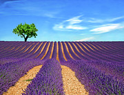 Purple Sky Posters - Lonely Tree On Lavender Field Poster by Martina Meglic