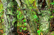 Lichen-covered Fence Photos - Long Ago Fence by Thomas R Fletcher