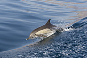 Backed Posters - Long-beaked Common Dolphin Delphinus Poster by Suzi Eszterhas