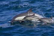 Groups Of Animals Posters - Long-beaked Common Dolphins, Delphinus Poster by Ralph Lee Hopkins