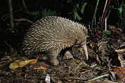 Critically Endangered Species Posters - Long-beaked Echidna Zaglossus Bruijni Poster by D. Parer & E. Parer-Cook