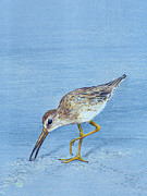 Long-billed Dowitcher Print by Tina McCurdy