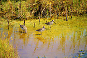 Wildlife Genre Prints - Long Billed Dowitchers Migrating Print by Roena King
