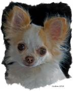 Akc Framed Prints - Long Coat Chihuahua Framed Print by Larry Linton